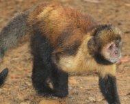 Yellow-breasted Capuchin Monkey