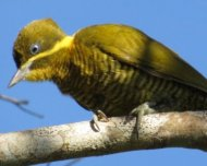 Golden-green Woodpecker female