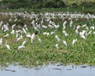 Jabirus and egretts