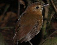 Brown-banded Antpitta (endemic)