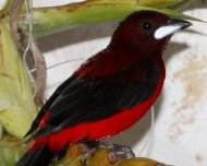 Crimson-backed Tanager male