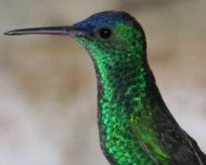 Indigo-capped Hummingbird (endemic)