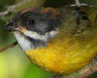 Moustached Brush-Finch juvenile
