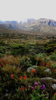 Paramo flowers in Natural National Park Los Nevados