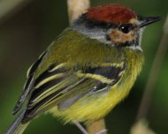Rufous-crowned Tody-Tyrant