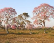 The spectacular pink Tabebuia trees (Tabebuia impetiginosa) blossoming during the dry season in the northern Pantanal.