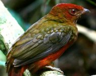 Guianan Red-Cotinga