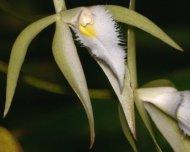 Orchid Von Martin