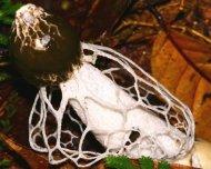 Stinkhorn fungus