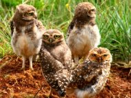 Family of Burrowing Owls at burrow entrance.