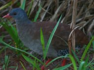 Small-billed Tinamou
