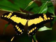 King Swallowtail (Papilio thoas) freshly hatched.